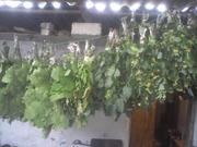 продаю веники банные липы береза дуб оптом
